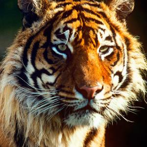 p_t_sumatrae_cDavid_Lawson_WWF-UK_zugschnitten_01